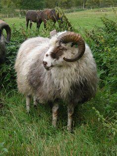 Gammelnorsk spælsau (Hovedtekstbilde) old Norwegian sheep