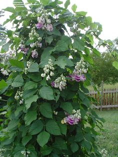 Caracalla Bean (Vigna caracalla) - VERY fragrant flowers Climbing Flowers, Climbing Vines, Climbing Flowering Vines, Evergreen Climbing Plants, Beautiful Gardens, Beautiful Flowers, Evergreen Vines, Belleza Natural, Garden Plants