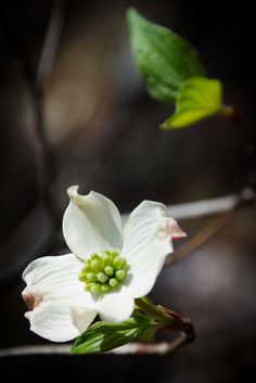 Dogwood in the Ozarks.Right after the purple display of the Redbuds.