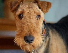 Airedale Terriers! Cute!