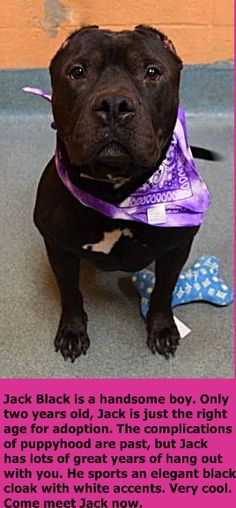 SUPER URGENT 12/26/16 Brooklyn Center JACK BLACK – A1099839 **RETURNED 12/26/16** NEUTERED MALE, BLACK / WHITE, STAFFORDSHIRE MIX, 2 yrs RETURN – EVALUATE, HOLD RELEASED Reason NO TIME Intake condition EXAM REQ Intake Date 12/26/2016 http://nycdogs.urgentpodr.org/jack-black-a1099839/