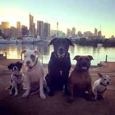 - These Pit Bulls Just Wanted Their Own Baby Baby Ducks, Pit Bulls, Penguins, Adoption, Dogs, Life, Animals, Animales, Pitbulls