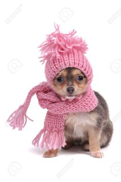Curieusement Habillé Chihuahua À Cold Weather Photo, Image et image libre de…