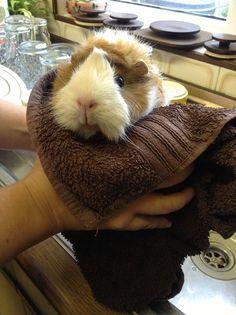 bathing my guinea pig