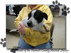 MUST BE OUT BY 345pm on 02/25/2014 ADOPT OR RESCUE - URGENT!  2 MOS old male JRT mix Pen 13 1100 McKay Place, Lillington, NC 27546  (910) 814-2952 http://harnettanimalcontrol.com/ #NORTHCAROLINA