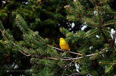 Yellow Warbler by cherylorraine