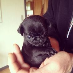Baby pug. Oh my gawd. I totally squeaked when I saw this.