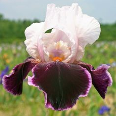 TB Iris germanica 'Latin Lady' (Shoop 1978)