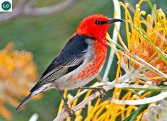 https://www.facebook.com/WonderBirds-171150349611448/ Ăn mật myzomela đỏ tươi; Họ Ăn mật-Meliphagidae (Honeyeater); Australia, Indonesia và New Caledonia    Scarlet honeyeater/Crimson honeyeater/Sanguineous honeyeater/Scarlet myzomela (Myzomela sanguinolenta); IUCN Red List of Threatened Species 3.1 : Least Concern (LC)(Loài ít quan tâm).