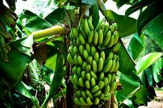 Banana trees are one of the most occurring type of trees in Jamaica along with most kinds of citrus trees.This is an example of flora