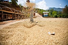 Guatemala // naturals drying in the sun