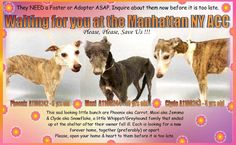 Must Love Dogs - safe with me Page Liked · December 23 · Edited ·    ** FOSTER or ADOPTER NEEDED RIGHT NOW **  This sad looking little bunch are Phoenix aka Carrot, Maxi aka Jemima & Clyde aka Snowflake, a little Whippet/Greyhound family that ended up at the shelter after their owner fell ill. Each is looking for a new forever home, together (preferably) or apart. Please, open your home & heart to them before it is too late. They are waiting for you to save their l...