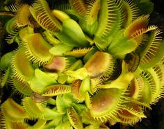 Venus Fly trap FAQ – Comprehensive Fly trap Information | Carnivorous Plant Care