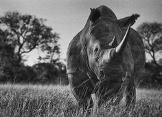 SAVE RHINO NOW CAMPAIGN   Crowdfunding campaign on @Indiegogo by @stevelyonstudio to help save rhinos from poaching and trafficking!  Please forward to all the NGOs, media and potential contributors @treehugger @greenpeace @GreenpeaceUK @greenpeaceusa @GreenpeaceEAsia @GreenpeaceChina @greenpeaceth @TheEconomist @nytimes @ft @FinancialTimes @HuffingtonPost @RhinosIRF @5rhinos @stopRhinoPoach @savetherhino @redcamerablog