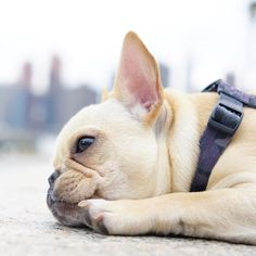Too tired for walking, French Bulldog in the City❤️