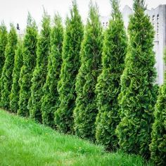 "Beloved by gardeners throughout the northern United States, Emerald Green American arborvitae (Thuja occidentalis ""Smaragd"") graces yards from coast to coast. Hardy in U. Arborvitae Landscaping, Arborvitae Tree, Privacy Landscaping, Backyard Privacy, Landscaping Trees, Thuja Occidentalis, Privacy Trees, Privacy Plants, Privacy Hedge"