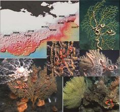 Gulf coral damaged by Deepwater Horizon oil spill | Pollution ...