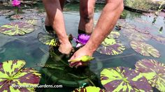 Nymphaea 'Blue Aster' annual waterlily plus care and maintenance of plant