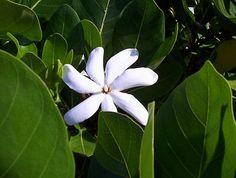 Tahitian Gardenia...Tiare  Photo by KLR at Mauna Kea Beach Hotel