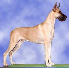 Great Dane-fawn colored  When I was a child we had a Great Dane like this one.  His name was YoYo.  He was very good natured, a gentle giant.