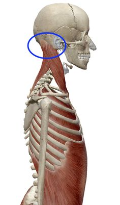"""The """"Hidden Survival Muscle"""" In Your Body Missed By Modern Physicians That Keep Millions Of Men And Women Defeated By Pain, Frustrated With Belly Fat, And Struggling To Feel Energized Every Day… Gross Anatomy, Yoga Anatomy, Human Body Anatomy, Human Anatomy And Physiology, Anatomy Study, Anatomy Reference, Neck Muscle Anatomy, Anatomy Sculpture, Anatomy Practice"""