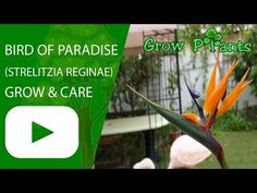 Bird of paradise flower - Learn how to grow Bird of paradise flower, plant information - climate, zone, uses, growth speed, water, light, planting & bloom