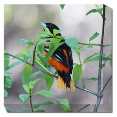 West of the Wind Baltimore Oriole Framed Photographic Print on Wrapped Canvas