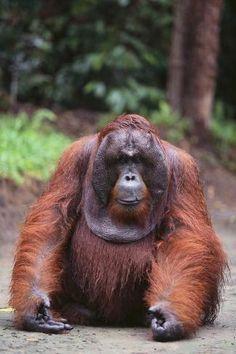orangutano varpos