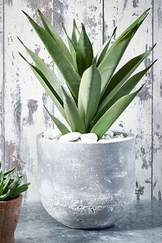Aloe Vera - 15 Plants That Are THE Next Fiddle Leaf Fig - Photos