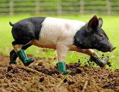 cute black and white pig wearing rubber boots