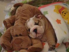 English Bulldog puppy ~ Cuddles with my friend