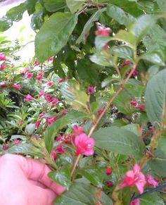"""#Stecklinge, #Stecklingsvermehrung 1: Du nimmst einen schönen Triebspitzen-Steckling, vielleicht 15-20 cm lang, der im unteren Bereich aber nicht mehr grün-labberig, sondern schon etwas fester (""""halbverholzt"""") ist. Der Bereich des #Stecklings, der in die Erde kommt, wird von Blättern befreit. Es ist wichtig, dass keine Blütenansätze dran bleiben. (...) ***"""