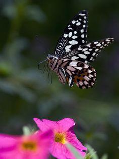The Citrus Swallowtail Butterfly -- 'Landing II' by Glenn0o7
