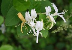 Αγιόκλημα (Lonicera) Plants, Photos, Pictures, Plant, Planets