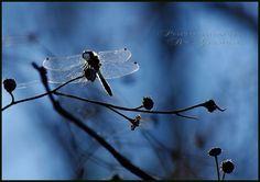 "Photo ""sunonmywings"" by prairiem. #viewbug #photocontest #dragonfly"