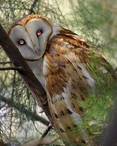 Barn Owl by hearman, via Flickr