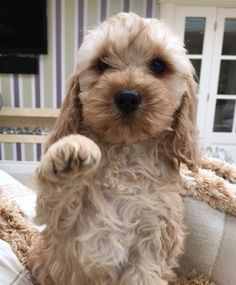 Cute Little Puppies, Cute Puppies, Dogs And Puppies, Cockapoo Puppies, Goldendoodle, Shiba Inu, Puppies That Dont Shed, Baby Dogs, Doggies