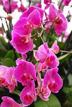 DSC_2060Moth orchid (Phalaenopsis) hybrids