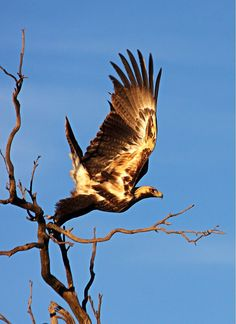 Wedge tail eagle Western Australia