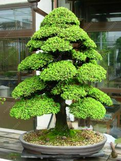 100 PCS/bag Sacred Japanese Cedar seeds bonsai ornamental tree seeds everygreen Woody plant for home garden plant pot