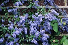Ceanothus 'Cascade' or California lilac: tips for care and pruning Evergreen Climbers, Planting Flowers, Plants, Propagating Plants, Shrubs, Blue Plants, Evergreen Flowers, Gardening Tips, Garden Care