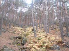 Alfombra multicolor de helechos en el pinar.