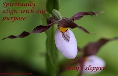 Lady's slipper helps us to spiritually align with our purpose. It doesn't matter what we do but how we feel we are serving in the moment with all that we do. Lady's slipper essence is for walking our paths.