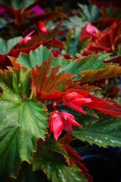 Begonia 'Lana' (Cane-type) (2) | by KarlGercens.com GARDEN LECTURES