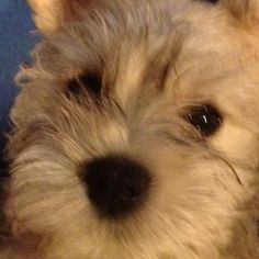 Love that puppy face! Miniature Schnauzers are the BEST!!!