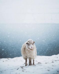 I don't know why but I just find sheeps adorable.