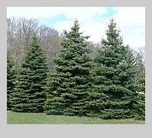 blue colorado spruce Brett wants one in the back yard of our