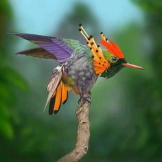 Tufted Coquette Hummingbird. The male tufted coquette is a striking bird. It has a rufous head crest and a coppery green back with a whitish rump band that is prominent in flight. The forehead and underparts are green, and black-spotted rufous plumes project from the neck sides. The tail is golden rufous.