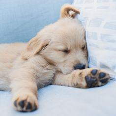 A sleepy golden retriever puppy just 8 weeks old! #penny8weeks …