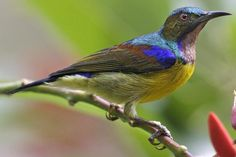 Do You Know Your Borneo Birds? With This Field Guide, You Will!: Know exactly where to find the brown-throated sunbird in Borneo with this field guide!